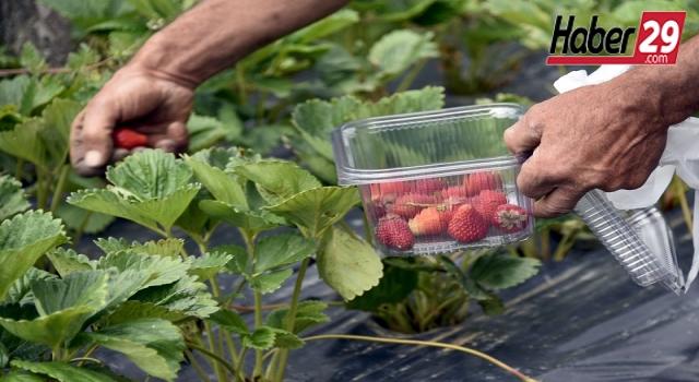 Gümüşhane'de çilek üreten çiftçi taleplere yetişemiyor