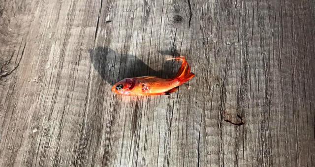 Gümüşhane'de kafedeki süs balıklarını telef eden karga güvenlik kamerasına yakalandı