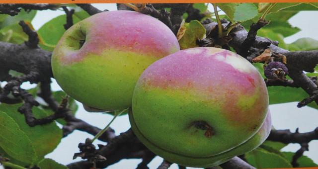 Gümüşhane'de Yerel Meyve Çeşitleri Korunuyor