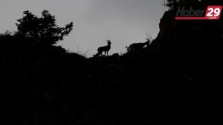 Dağ Keçileri Yollara Kadar İndi