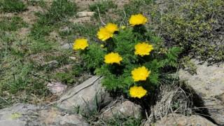 İzine 150 yıl sonra rastlanan sarı dağ gülü yeniden açtı