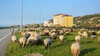 Kazıkbeli yaylasına çobanların yayla yolculuğu başladı